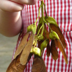 Picture of child holding up winged seeds