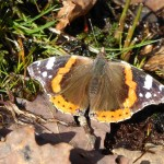 Overwinterd Red admiral butterfly