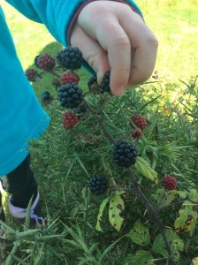 A keen but careful blackberry forager!