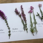 Bell heather, Ling and Cross-leaved heath