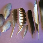 Collect moulted feathers for identification or simply for their varied beauty