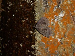 Sugaring-Old Lady moth
