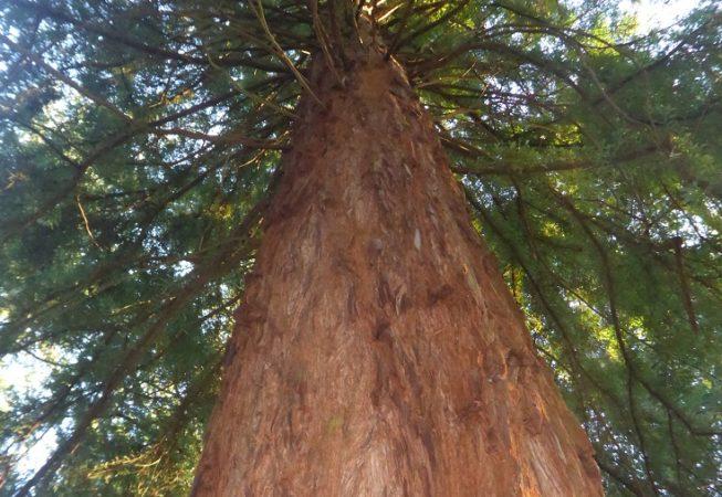 Tall trees walk