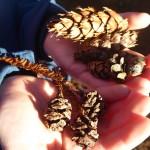 Cones: Douglas fir, Western hemlock, coast redwood
