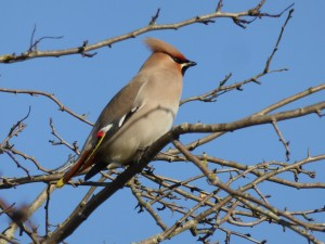 A visiting waxwing - beautiful!