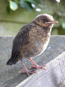 An unwary blackbird chick will need to be fed by its parents for several days after leaving the nest