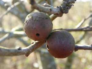 Oak apple gall with exit hole